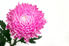 Beautiful Chrysanthemum Stock Images