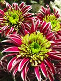 Beautiful chrysanthemum Stock Image