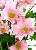 Beautiful chrysanthemum flower Stock Photo