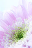Beautiful chrysanthemum flower Royalty Free Stock Photo
