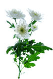 Beautiful chrysanthemum flower Stock Image