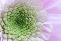 Beautiful chrysanthemum flower Stock Images