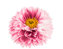 Beautiful  chrysanthemum flower Stock Photos