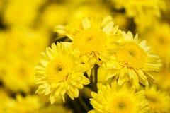 Beautiful chrysanthemum flower blooming in garden Royalty Free Stock Photography