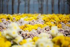 Beautiful chrysanthemum flower blooming in garden Royalty Free Stock Photos