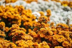 Beautiful chrysanthemum flower blooming in garden Stock Photography