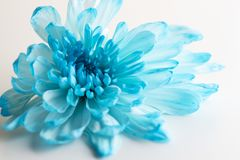 Beautiful chrysanthemum flower close-up. On white background stock images