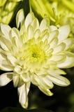 Beautiful Chrysanthemum Flower. Floral Background Royalty Free Stock Image