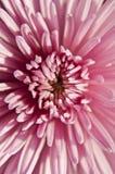 Beautiful Chrysanthemum Flower. Floral Background Stock Photos