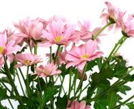 Beautiful chrysanthemum flower isolated on white Stock Image