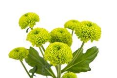 Beautiful chrysanthemum flower isolated Royalty Free Stock Photography
