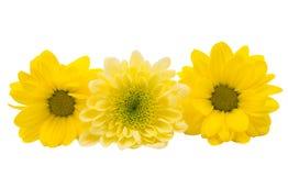 Beautiful chrysanthemum flower isolated Royalty Free Stock Photos