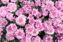 Beautiful chrysanthemum flower on nature green background Royalty Free Stock Image