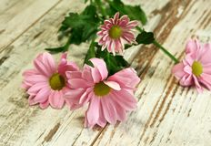 Beautiful chrysanthemum flower on old wooden Stock Photos