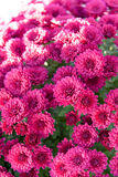 Beautiful chrysanthemum flowers. Beautiful colorful fresh chrysanthemum flowers stock photos