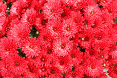 Beautiful chrysanthemum flowers. Beautiful colorful fresh chrysanthemum flowers stock photography