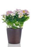 Beautiful Chrysanthemum flowers Royalty Free Stock Image