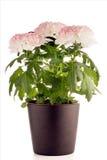 Beautiful Chrysanthemum flowers Stock Photography