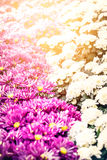 Beautiful chrysanthemum flowers scene Stock Photography