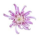 Beautiful chrysanthemum isolated on white Stock Image
