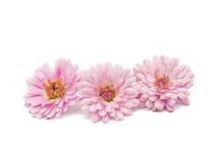 Beautiful chrysanthemum isolated Royalty Free Stock Photography
