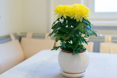 Beautiful chrysanthemum in pot on  dining table Stock Photography