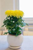 Beautiful chrysanthemum in pot on  dining table Royalty Free Stock Photos