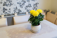 Beautiful chrysanthemum in pot on  dining table Royalty Free Stock Photo
