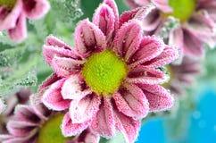 Beautiful chrysanthemum in sparkling water stock photography