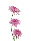 Beautiful chrysanthemum Royalty Free Stock Photo