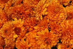 Beautiful Chrysanthemums. Abstract Chrysanthemums background. No leafs Stock Image