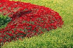 Beautiful Chrysanthemums Stock Image