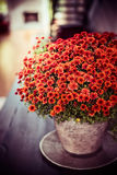 Beautiful Chrysanthemums flowers bunch on dinner table at living room background. Autumn home royalty free stock photography