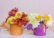 Beautiful  chrysanthemums flowers in orange and purple water cans Royalty Free Stock Images