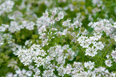 Beautiful cilantro coriander flowers blooming in the summer Royalty Free Stock Images