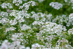 Beautiful cilantro coriander flowers blooming in the summer Stock Image