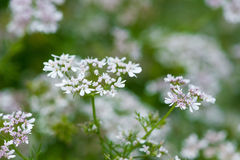 Beautiful cilantro coriander flowers blooming in the summer Royalty Free Stock Photo