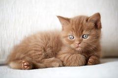 Beautiful cinnamon color british short hair kitten Royalty Free Stock Image