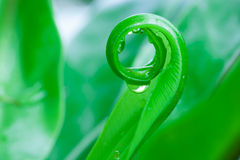Beautiful circle Bird's nest fern leave close up Stock Photography