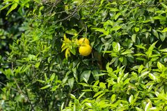 Beautiful citrus tree with ripe fruits close-up. Beautiful citrus tree with the ripe fruits close-up royalty free stock photography