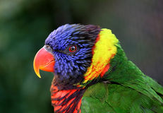 Beautiful, clean, clear shot of colorful Parrot. Close up photo of colorful parrot with orange beak and blue, yellow, red and green feathers royalty free stock photo