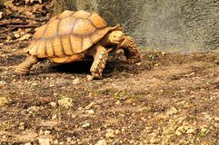Beautiful, Clean, Turtle Royalty Free Stock Image