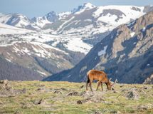 A Mature Buck Deer Eating in a Meadow on a Summer Day in Rocky Mountain National Park stock image