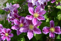 Beautiful clematis. Is blooming in my summer garden Royalty Free Stock Photography