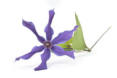 Beautiful clematis flower Stock Images