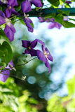 Beautiful clematis flower with beautiful mellow background Royalty Free Stock Photo