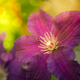 Beautiful clematis flower stock photo