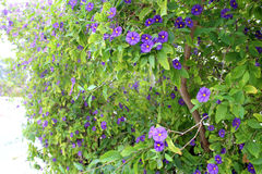 Beautiful clematis flowers. Growing in the garden on sunny spring day. Natural floral background Royalty Free Stock Photography