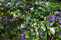 Beautiful clematis flowers. Growing in the garden on sunny summer day. Natural floral background Stock Photos