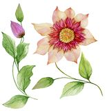 Beautiful clematis on a stem. Floral set flower, leaves on climbing twig, boll. Isolated on white background. Watercolor painting. Hand painted botanical Royalty Free Stock Photo